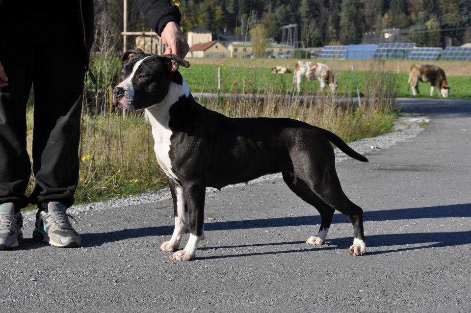 Blue Rock & Royal Amstaff - American Staffordshire Terrier ... American Staffordshire Terrier 2014